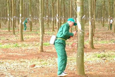Hình ảnh cao su Phú Riềng